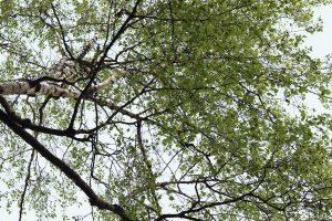 Folhas de bétula