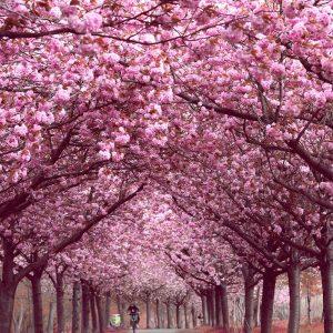 Primavera em Berlim - Cerejeiras